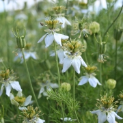 Nigelle aromatique